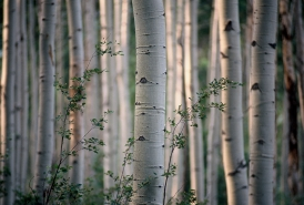 Aspen Forest redux