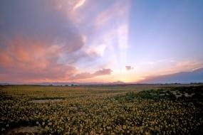 Sunset daisy field