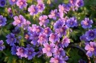 Aspen Flowers